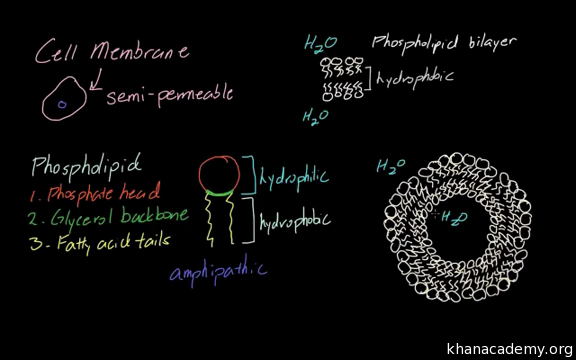 Cell membrane proteins | Cells | MCAT | Khan Academy